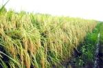 Giống lúa lai có thể sinh sống trên đất phèn, mặn
