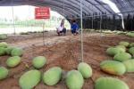 Lạ lùng cây dưa hấu 131 trái chi chít ở Trung Quốc