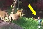 Hoảng hồn clip 'ma men' mò vào chuồng sư tử, đòi bắt tay chúa tể sơn lâm