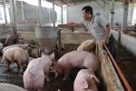 GS Võ Tòng Xuân: Chỉ hô hào dân 'trồng cây gì, nuôi con gì', còn phải 'giải cứu lợn'