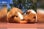 Phì cười clip chuột lang tranh nhau củ cà rốt