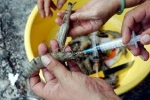 Đà Nẵng: Xử phạt tiểu thương bơm tạp chất tăng trọng vào tôm sú