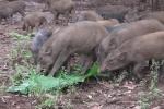 Video: Độc đáo đàn lợn 'tên lửa' biết nghe kẻng chạy về chuồng
