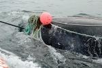 Vừa được giải cứu, cá voi quay sang giết chết ân nhân
