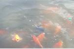 Video: Ngắm ao làng có nhiều cá cảnh nhất Hà Nội