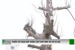 Hà Nội: Cây mới trồng đã chết khô hàng loạt