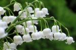 Những loại hoa chơi Tết chứa độc, có thể nguy hiểm tính mạng