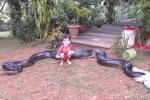 Ăn thịt chó nhà, trăn anaconda khổng lồ bị tóm gọn
