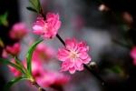 Hoa đào - Thần dược cho sắc đẹp