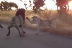 Clip: Sư tử cái trút cơn thịnh nộ lên 'chúa sơn lâm'