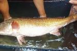 Người bắt được cá khủng nghi cá sủ vàng ở Nghệ An: Ai trả 500 triệu đồng tôi sẽ bán