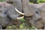 Màn 'khóa môi' lãng mạn của những chú voi