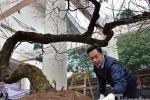Ngắm cây đào rừng Sapa giá gần 700 triệu đồng ở Hà Nội