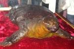 Rùa Hồ Gươm là rùa hay là con giải khổng lồ?