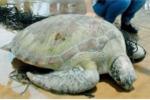 Bắt được rùa biển quý hiếm nặng 62 kg