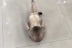 Cười vỡ bụng clip mèo béo tập gập bụng