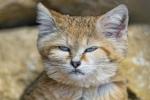 9 điều chưa biết về loài mèo cát có thể sủa như chó