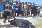 Bắt được rùa biển lạ nặng trên 300 kg