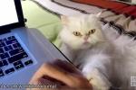 Video: Loài mèo đang 'huấn luyện' con người như thế nào?