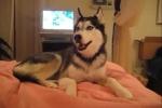 Kinh ngạc chó Husky nói 'I love You'