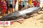 Cận cảnh cá voi 2 tấn dạt vào bờ biển Phú Yên