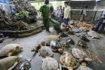 'Đột kích' 2 cơ sở chế tác rùa biển tại Nha Trang
