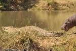 Hà mã con liều lĩnh trêu đùa cá sấu