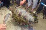 Chen nhau xem rùa biển quý hiếm lạc vào phá Tam Giang