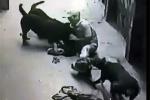 Rùng mình 4 con chó 'Tây' tấn công người ở Hà Nội
