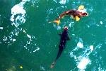 Kỳ lạ giếng nước 'chung thủy' nuôi 'cá thần ngàn tuổi'