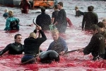 Clip: Kinh hoàng lễ hội thảm sát cá voi đẫm máu ở Đan Mạch