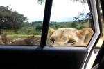 Sư tử mở cửa xe ôtô khiến khách tham quan thất kinh