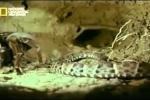 Video: Nhện khổng lồ giết thịt rắn chuông chỉ với một cú cắn