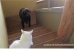Hài hước chó sợ mèo không dám đi qua