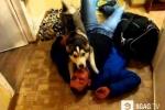 Clip: Chú chó Husky đè chủ ra hôn tới tấp vì nhớ