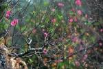 Cách chọn hoa đào đẹp nhất cho ngày tết
