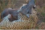 Clip: Báo đốm quật chết lợn rừng hung tợn
