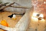 Quan xã 'ăn chặn gà' hộ nghèo: Phó Thủ tướng yêu cầu xử lý