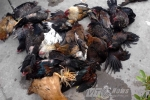 TP.HCM: Bất chấp cúm gia cầm, người dân vẫn giết mổ tràn lan