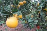 Bưởi Diễn hét giá trăm ngàn mỗi quả tại vườn
