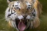 Chuyện ở xứ sở của thần hổ