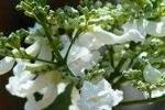 Đẹp ngỡ ngàng hoa phượng trắng duy nhất Việt Nam