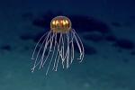Clip: Kinh ngạc sứa 'ngoài hành tinh' phát sáng tuyệt đẹp dưới đáy biển