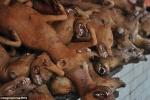 Rùng mình lễ hội thịt chó của dân Trung Quốc