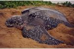 Chuyện chưa biết về loài rùa khổng lồ, nặng gần 1 tấn