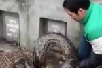 Trăn khổng lồ chui vào mộ ở Hưng Yên có là chuyện bình thường?