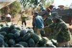 Tận cùng nỗi khổ của người trồng dưa hấu mất mùa vẫn bị bảo kê thu phí