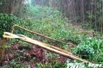 Dân tố công ty điện lực ngang nhiên phá rừng keo kinh tế