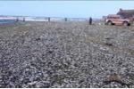 Hàng trăm ngàn con cá chết trắng cả bờ biển Nga