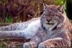 Chuyện chưa biết về loài mèo hoang khổng lồ to như báo